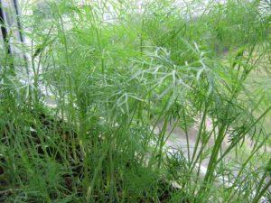 vyrashhivanie-zeleni-v-domashnix-usloviyax-3