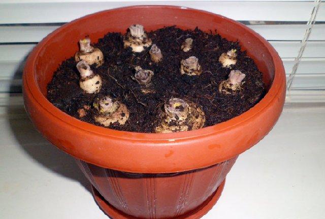 Вырастить петрушку из корнеплода несколько сложнее, чем из семян, но тоже возможно.