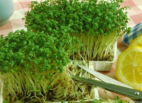 Кресс-салат - один из самых неприхотливых растений для домашнего выращивания.