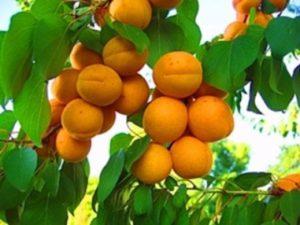 abrikos-dlya-podmoskovya-6