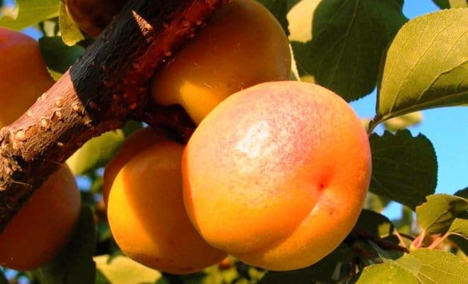 abrikos-dlya-podmoskovya