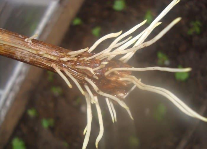 При размножении растений черенками, корневин - просто незаменимый помощник.