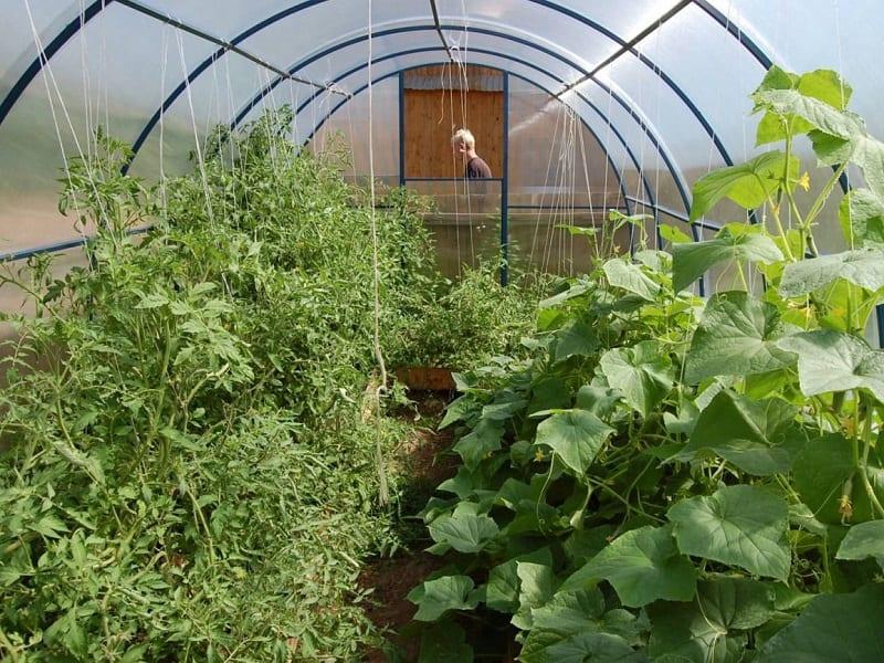 Влага и тепло - лучший климат для роста огурцов.