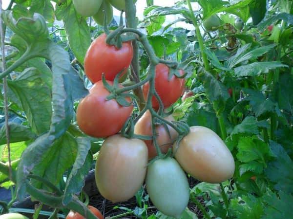 Выращивание сельдерея совместно с помидорами