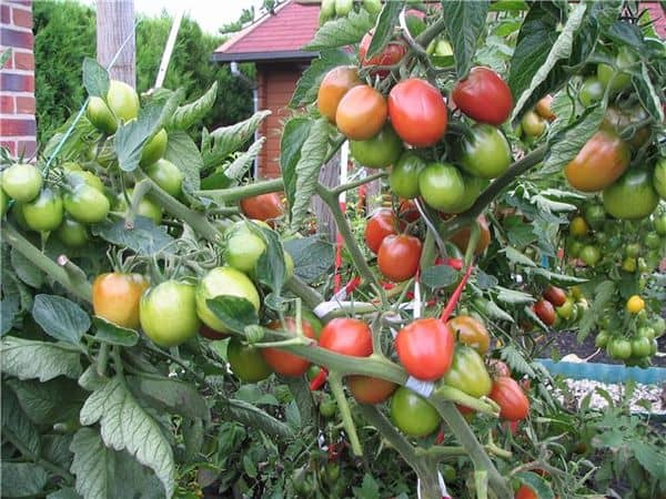 sozrevanie-tomatov-de-barao