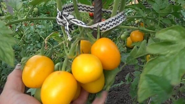 Желтый томат Де Барао