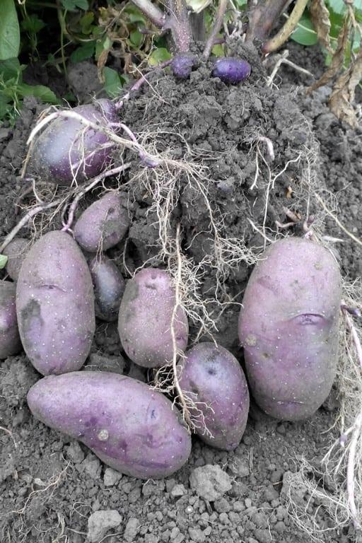 картофель чугунка описание сорта фото отзывы без