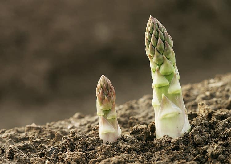 Как посадить и вырастить в открытом грунте королеву грядок — спаржу