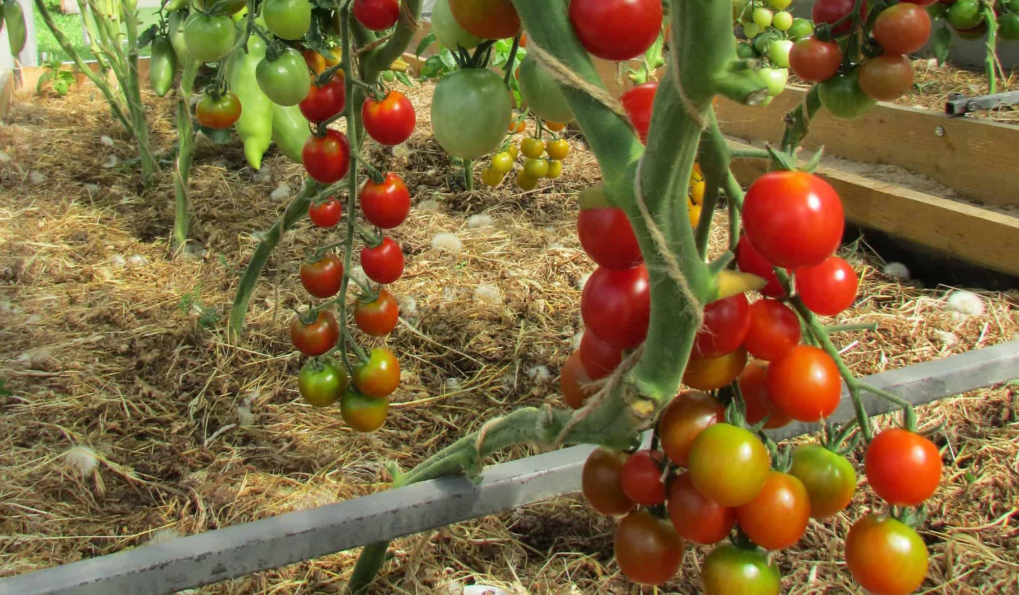 Помидоры черри: выращивание рассады в домашних условиях фото