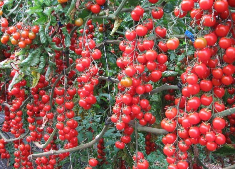 Черри вишня дерево - Дача и цветы