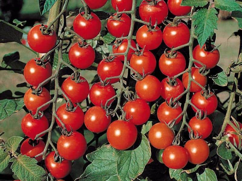 Список ранних сортов помидоров для теплиц