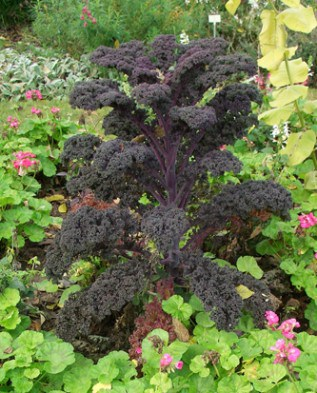 Декоративная капуста правила посадки и выращивания