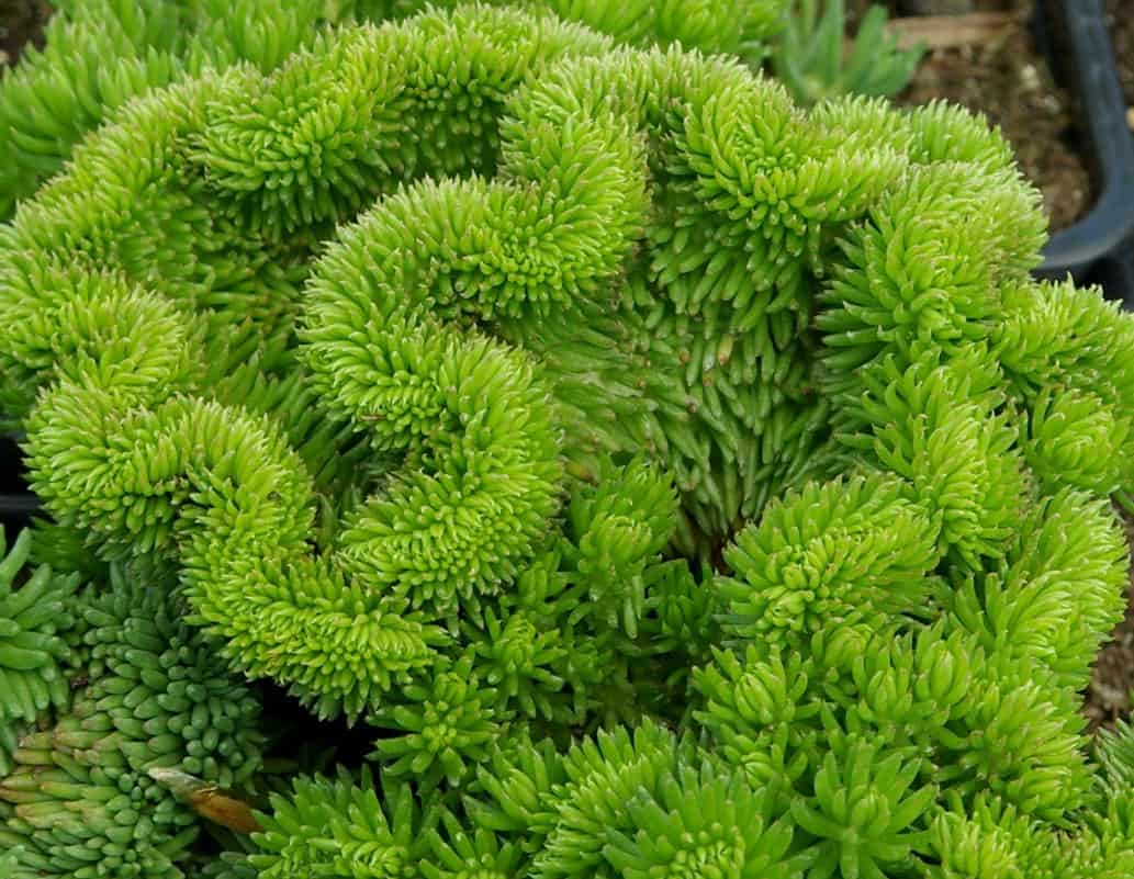 Зеленый седум