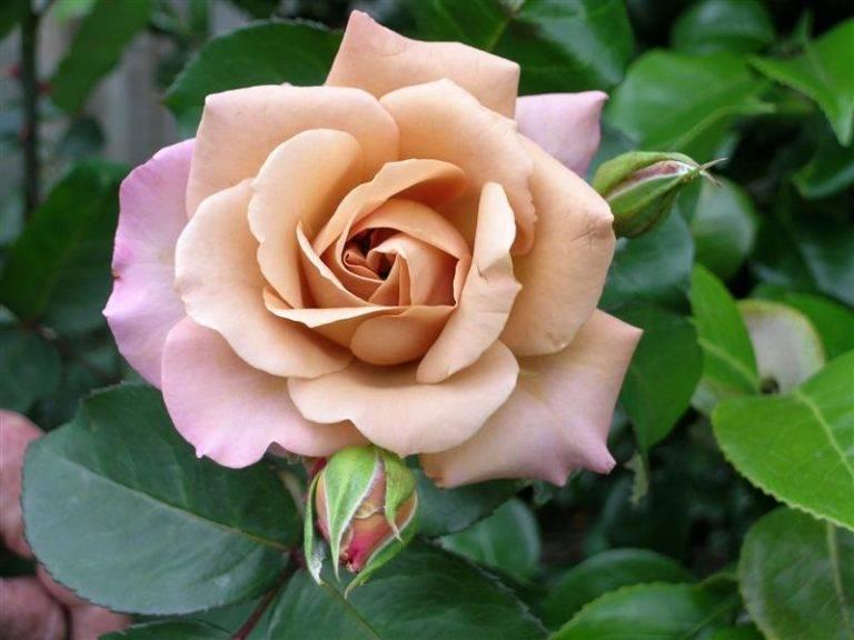 Светлая роза