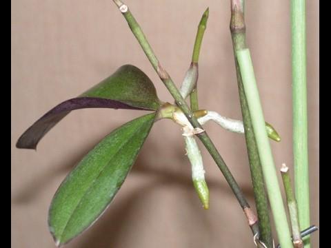 Орхидея детки