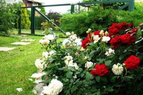 Особенности посадки и ухода за голландскими розами
