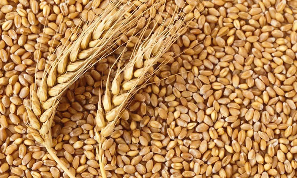 Зерновые культуры - это... Что такое Зерновые культуры?
