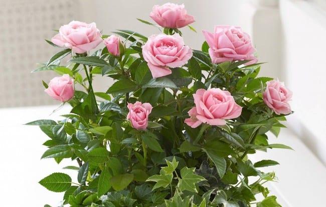 Как правильно ухаживать за комнатными розами
