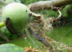 Гусеницы на яблоне