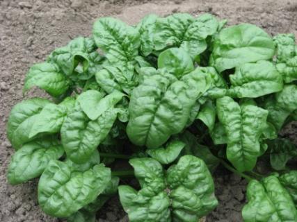 Выращивание шпината основные моменты
