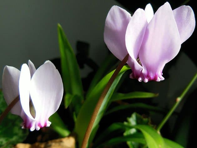 Комнатный цветок