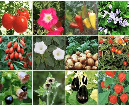 Семейства пасленовых растений