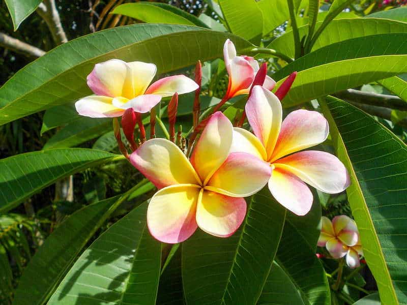 Цветы плюмерии в природе
