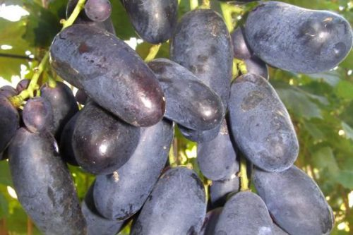 Виноград Велика