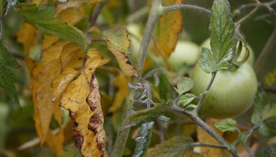 Желтевшие листья