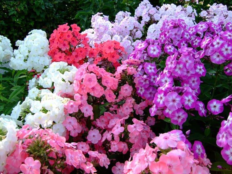 Особенности выращивания однолетних флоксов из семян.
