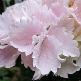 Агротехника крупноцветковой гортензии