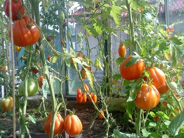 Сорт помидоров «Пузата Хата»