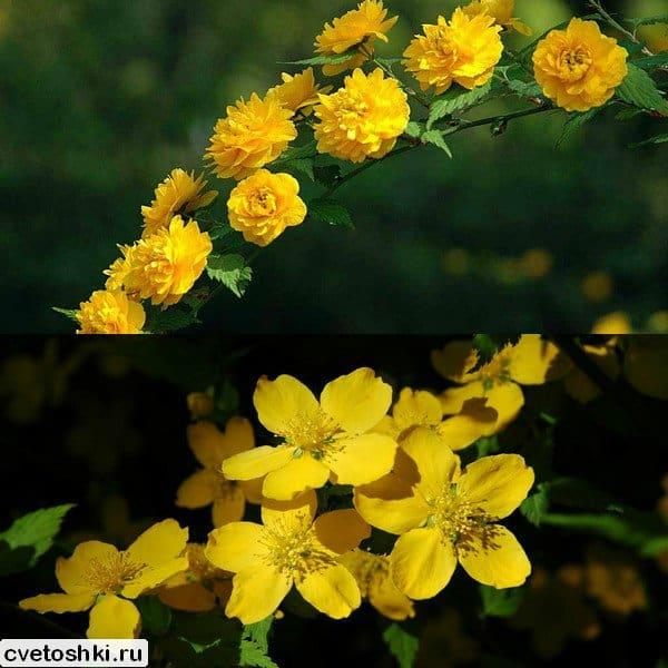 Формы цветов керрии