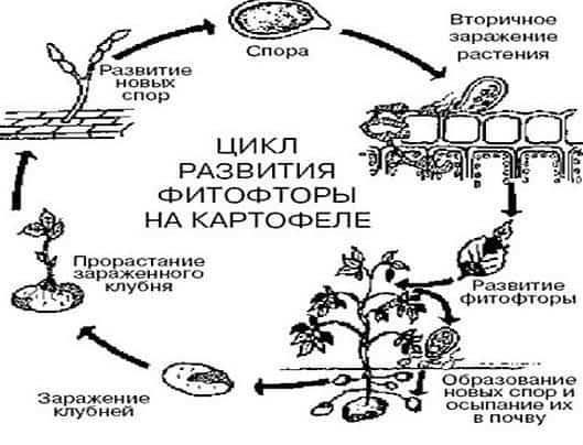 Развитие фитофторы на картофеле
