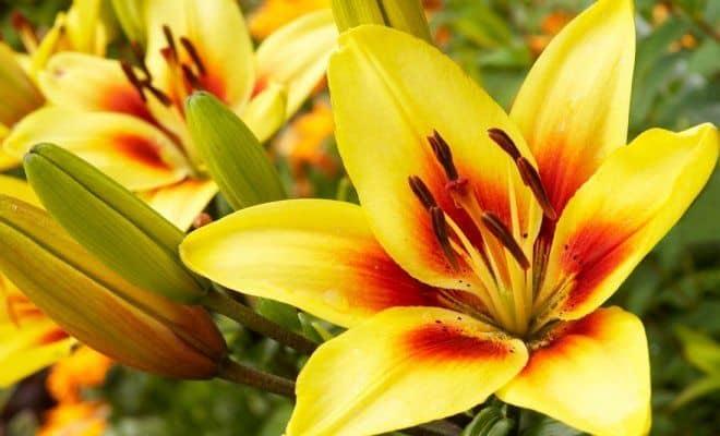 Желтая лилия