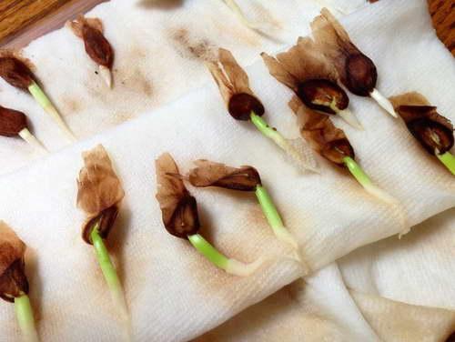 Проращивание семян плюмерии