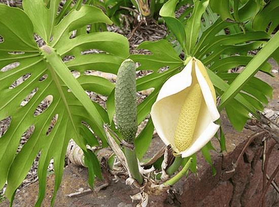 Цветок лианы