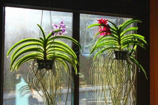 Орхидеи в подвесных корзинках