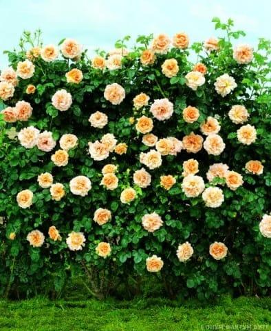 Куст роз