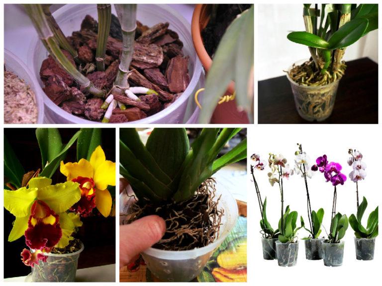 картинки орхидеи уход и размножение в домашних условиях фото поле или