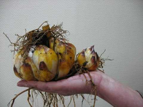 Луковицы на руке