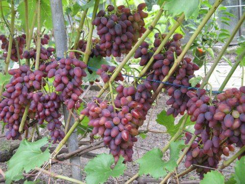 Уход винограда