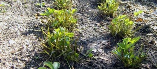 Растущая клубника