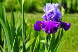 Ирис весной