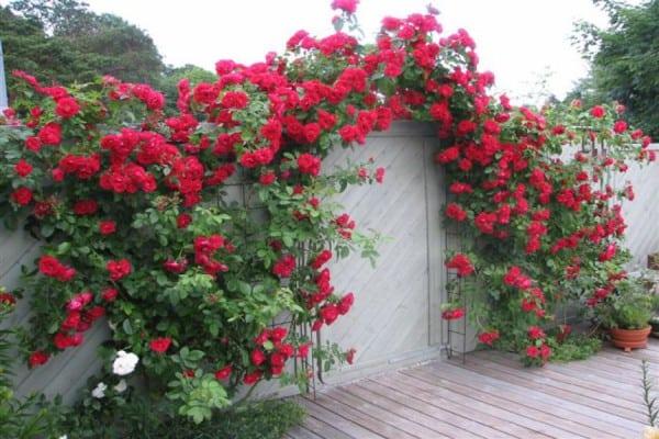 Розы у входа