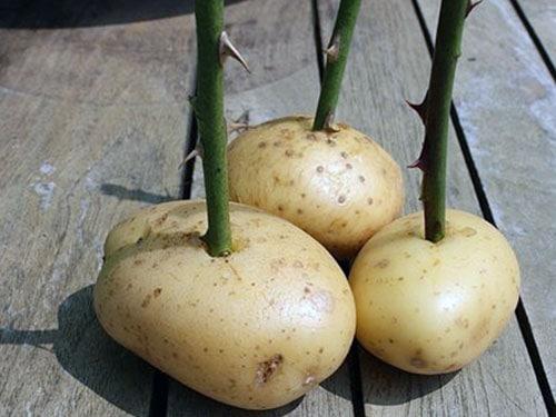 Размножение в картофеле
