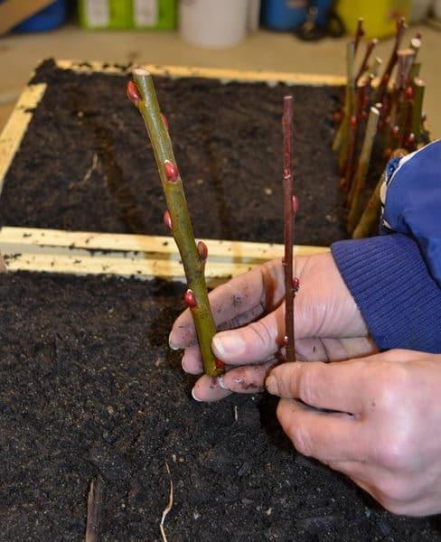 Размножение кольквиции при помощи черенков
