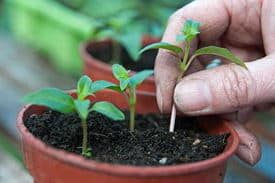 Размножение кольквиции семенами