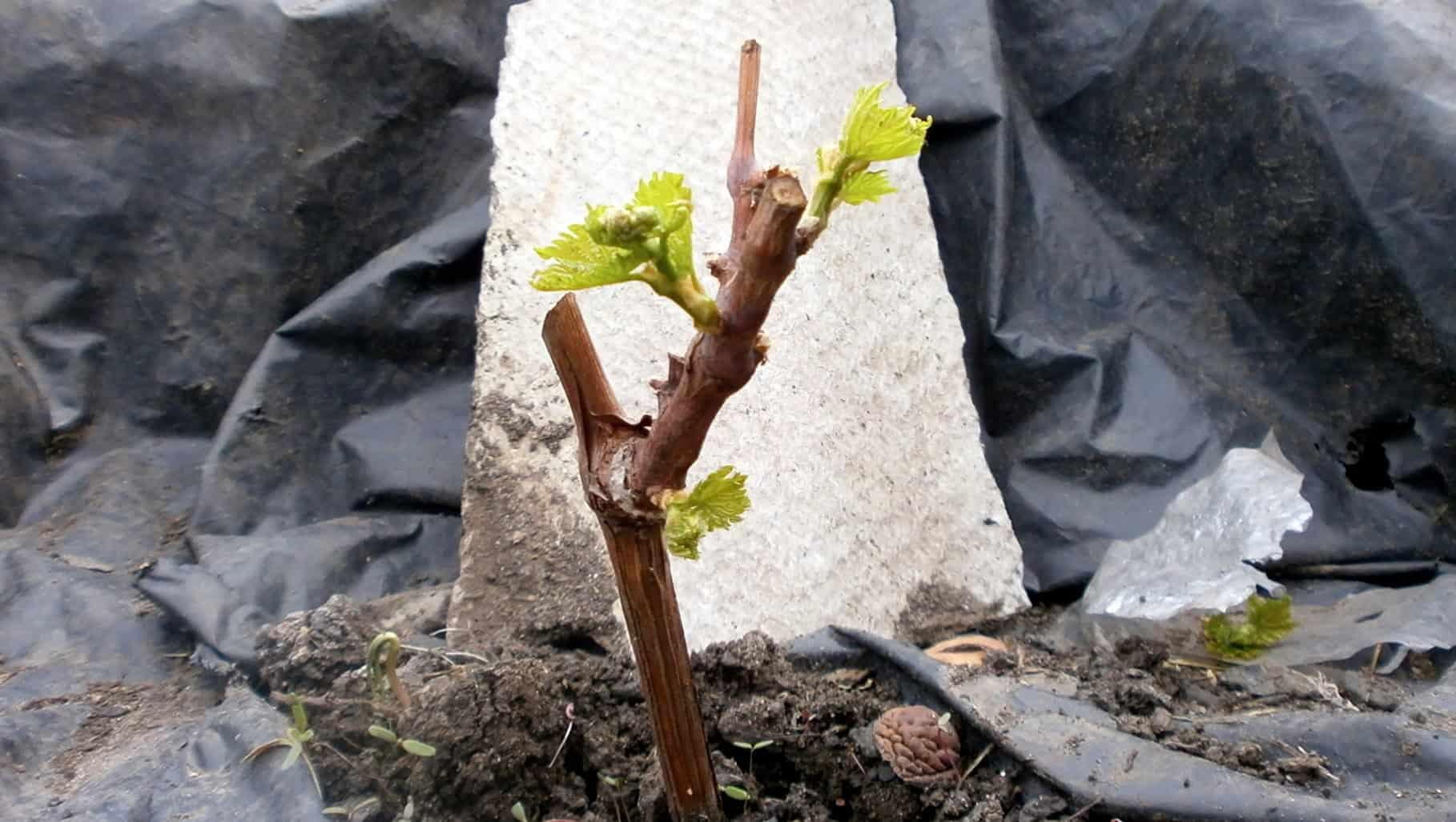 Корешок винограда