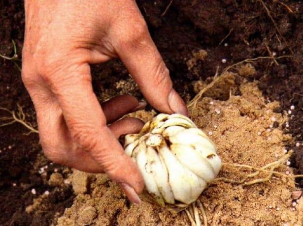 Сажать луковицу